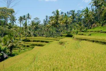 Rižina polja u indoneziji